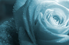 Background with rose (close-up) Royalty Free Stock Images