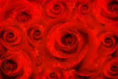 Background rose flowers, red passion Stock Photography