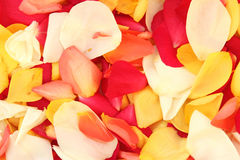 Background of rose petals. Background from multicolored rose petals Royalty Free Stock Photo