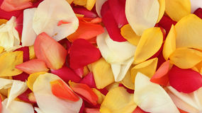 Background of rose petals. Background from multicolored rose petals Stock Image