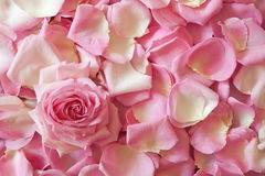 Background from rose petals Royalty Free Stock Photo
