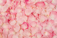 Background of  rose petals Stock Image