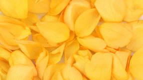 Background of rose petals. Background of yellow rose petals Stock Images