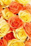 Background of roses Stock Image