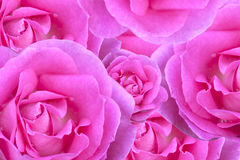 Background of roses Royalty Free Stock Image
