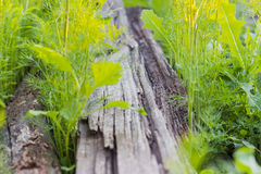 Background of the rotten wooden planks overgrown with grass Royalty Free Stock Image