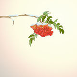 Background with rowan branch Royalty Free Stock Image