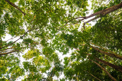 Background of rubber tree farm at thailand Stock Photography