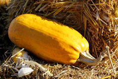 Background with rural farm autumn pumpkin Stock Image
