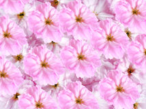 Background with sakura flowers Royalty Free Stock Images