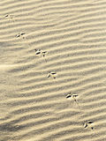 Background of sand ripples at the beach with prints of feet. Abstract  background of sand ripples at the beach with prints of birds feet Royalty Free Stock Image