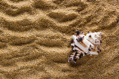 Background of sand with shell Royalty Free Stock Image