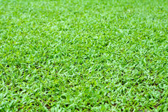 Background of Savanna grass or Carpet grass. Stock Images