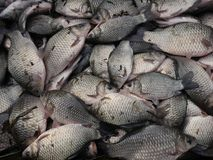 Silver crucian carp Royalty Free Stock Images