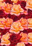 Background from the scattered randomly, yellow and red roses Stock Image