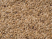 Background of scattered wheat grains royalty free stock image