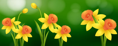 Background scene with daffodil flowers Stock Photography