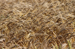 Golden corn field in countryside Royalty Free Stock Photos