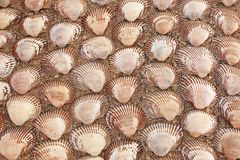 Background from sea cockleshells. Brown background from sea cockleshells Stock Photos