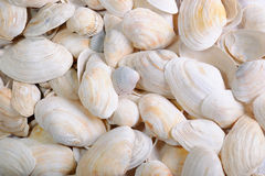 Background from sea cockleshells Stock Photography