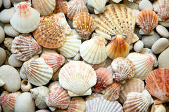 Background of sea shells Royalty Free Stock Images