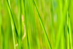 Background of seagrass closeups macro. Thick lake grass at beautifully located lake in Sweden macro closeups sunny day royalty free stock image