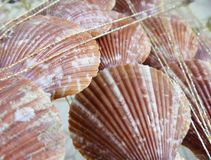 Background from seashell Royalty Free Stock Image