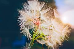 Background of the seeds of a dandelion closeup royalty free stock photo