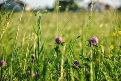 A background with selected focus, a field with green grass and some flowers of clover Royalty Free Stock Image