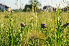 A background with selected focus, a field with green grass and some flowers of clover Stock Image