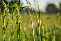 A background with selected focus, a field with green grass and some spikes Stock Images