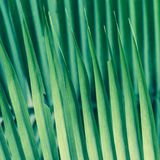 Palm Frond Background. Background of sharp lines formed by palm fronds Stock Photo