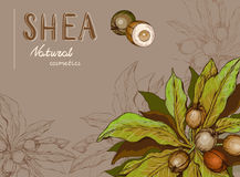 Background with Shea nuts and branch. Cosmetics and medical plant royalty free illustration