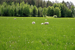 Background of Sheep on Green Grass Meadow Royalty Free Stock Image