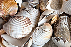 Background of shells Royalty Free Stock Images