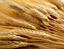 Background of shocks of wheat. A background comprised of golden shocks of wheat Stock Images