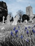 Springtime blue flowers seen growing by some old gravestones. The background shows an out of focus church in an English village. Also in view are other old Royalty Free Stock Image