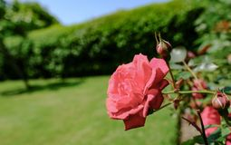 Detailed view of an ornate red rose seen growing in a summer garden. royalty free stock photo