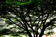 Background silhouette. Of a big trees Royalty Free Stock Photography