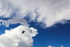 Background of silhouette of bird flying in front of white cloud in stormy blue sky. A Background of silhouette of bird flying in front of white cloud in stormy Royalty Free Stock Photo