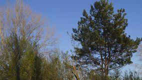 Background, silhouette of a branched coniferous tree. Against a blue sky in spring Stock Photos
