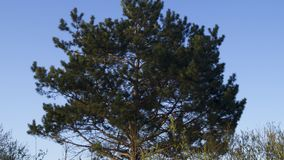 Background, silhouette of a branched coniferous tree. Against a blue sky in spring Royalty Free Stock Photography
