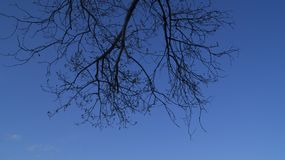 Background, silhouette of a branched tree against a blue sky in spring. Background, the silhouette of a branched tree against the blue sky in the spring, begins Royalty Free Stock Image
