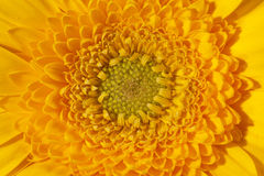 Background of single blooming flower of yellow gerbera macro Stock Image