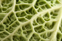 Background of single leaf of green cabbage, close up Royalty Free Stock Photography