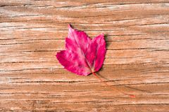 Single Red Autumn Maple Leaf on a Wood Background royalty free stock photo