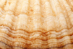 Background of single seashell of mollusc, close up Royalty Free Stock Photo