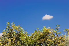 Background sky. Tree canopy and small cloud royalty free stock images