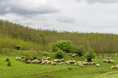 Background of sky, clouds, field, acacia forest and  flock sheep Stock Photos