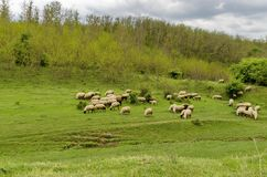 Background of sky, clouds, field, acacia forest and  flock sheep Royalty Free Stock Image
